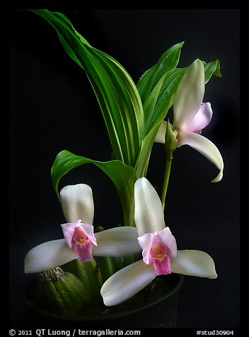 Lycaste ipala. A species orchid (color)