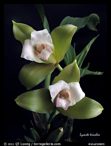 Lycaste tricolor plant. A species orchid (color)