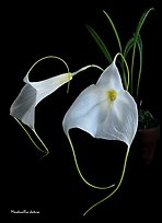 Masdevallia datura. A species orchid (color)