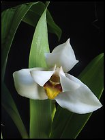 Maxillaria grandiflora. A species orchid (color)