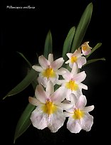 Miltoniopsis vexillaria. A species orchid (color)