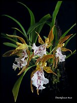 Odontoglossum tenue. A species orchid ( color)