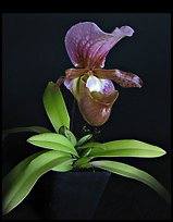 Paphiopedilum charlesworthii. A species orchid (color)