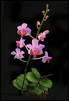 Phalaenopsis pulcherrima. A species orchid ( color)