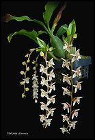 Pholidota chinensis. A species orchid ( color)