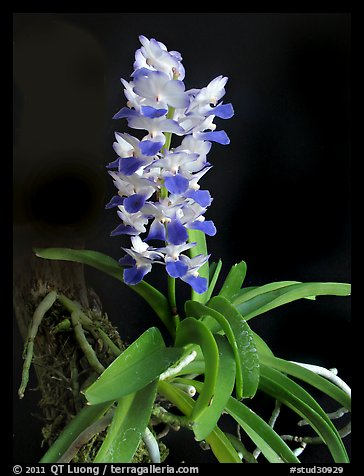 Phynchostylis coelestis. A species orchid (color)