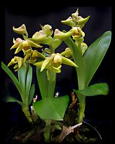 Polystachya zambesiana. A species orchid ( color)