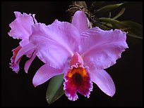 Cattleya percilviana 'Sumit'. A species orchid (color)