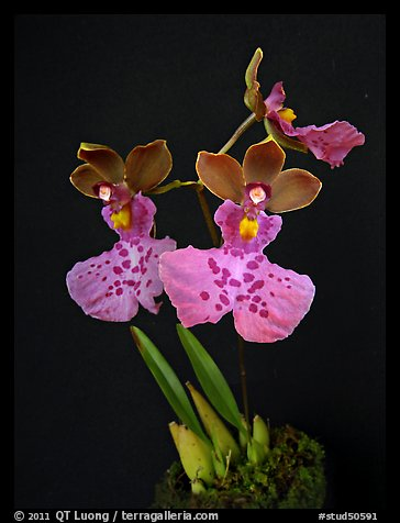 Caucaea mimetica. A species orchid (color)