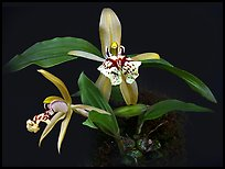Coelogyne schilleriana. A species orchid ( color)