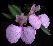 Comparettia macroplectron flower. A species orchid ( color)