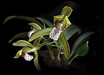 Cymbidium tigrinum. A species orchid (color)