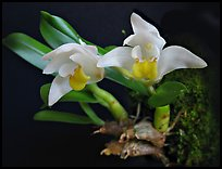 Eria reptans 'Matsudai'. A species orchid (color)