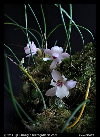 Isabella virginalis. A species orchid (color)