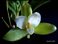 Lycaste occulta. A species orchid (color)