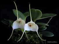 Masdevallia andreettaeana. A species orchid (color)