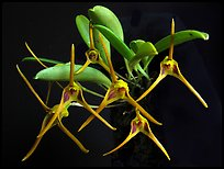 Masdevallia richardsoniana. A species orchid (color)