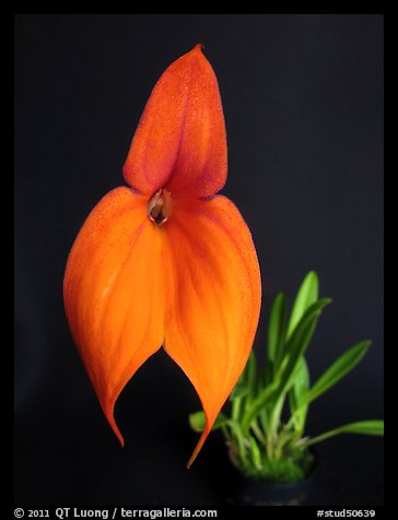 Masdevallia veitchiana. A species orchid (color)