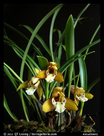 Maxillaria gracilis. A species orchid (color)