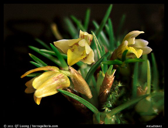 Maxillaria minuta. A species orchid (color)