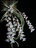 Microcoelia stolzii. A species orchid ( color)