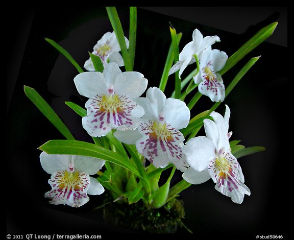 picture  photo  miltoniopsis phalaenopsis  a species orchid
