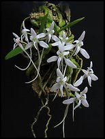 Mystacidium venosum. A species orchid (color)