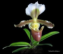 Paphiopedilum barbigerum. A species orchid ( color)