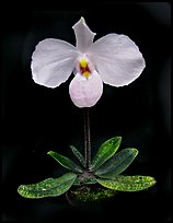 Paphiopedilum delenatii. A species orchid ( color)