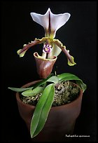 Paphiopedilum spicerianum. A species orchid (color)