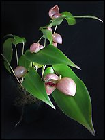 Pleurothallis palliolata. A species orchid (color)