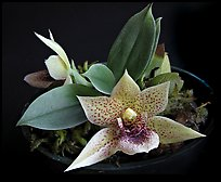 Promemaea rollinstonii. A species orchid ( color)