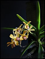 Vanda parviflora. A species orchid (color)