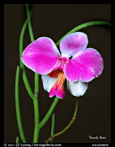 Vanda teres. A species orchid (color)