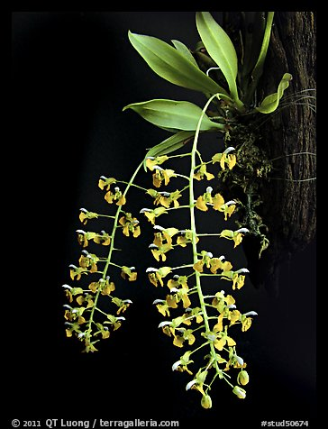 Zygostates lunata. A species orchid (color)