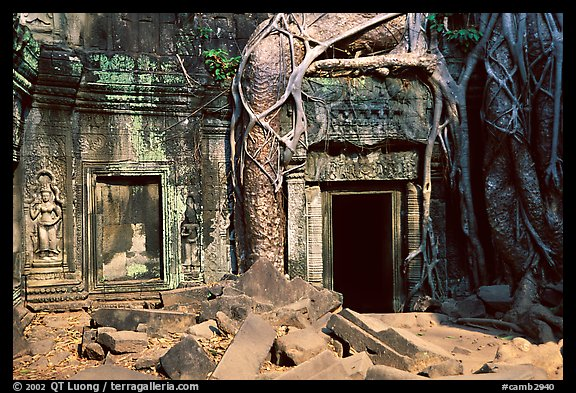 Roots of giant bayan tree encroaching on ruins in Ta Prom. Angkor, Cambodia (color)