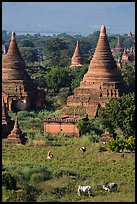 Peasant and ox in field below pagodas. Bagan, Myanmar ( color)