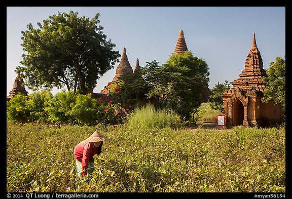 Woman harvesting beans with backdrop of pagodas. Bagan, Myanmar (color)