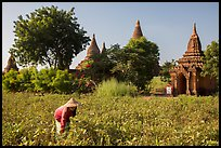 Woman harvesting beans with backdrop of pagodas. Bagan, Myanmar ( color)