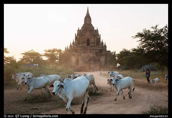 Cattle herd in front of Tayok Pye temple. Bagan, Myanmar (color)