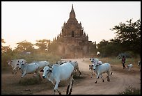 Cattle herd in front of Tayok Pye temple. Bagan, Myanmar ( color)