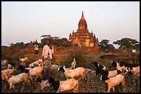 Sheep herder in front of temple, Minnanthu village. Bagan, Myanmar ( color)