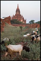Child herding sheep in front of temple, Minnanthu village. Bagan, Myanmar ( color)