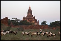 Sheep herding at sunset, Minnanthu village. Bagan, Myanmar ( color)