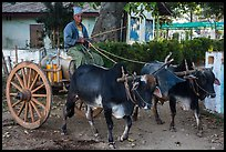 Man driving ox cart carrying water tank. Pindaya, Myanmar ( color)