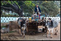 Man refilling tank on ox cart. Pindaya, Myanmar ( color)