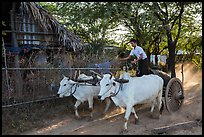 Man riding ox cart, Mingun village. Bagan, Myanmar ( color)
