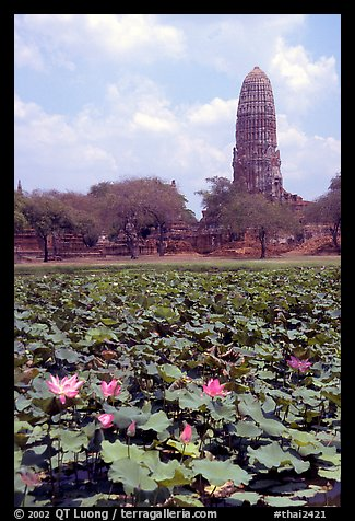 Lotus pond and  corn-shaped chedi. Ayutthaya, Thailand (color)