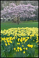 Daffodils and tree in bloom, Saint James Park. London, England, United Kingdom ( color)