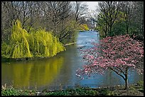 Weeping Willow and Plum blossom,  Saint James Park. London, England, United Kingdom ( color)